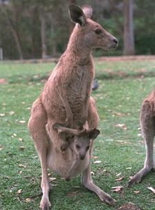 Kangaroos - Babies and mom ]009