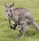 Kangaroos - Babies and mom ]012