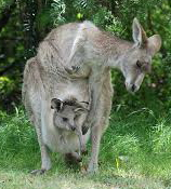 Kangaroos - Babies and mom ]013