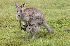 Kangaroos - Babies and mom ]014