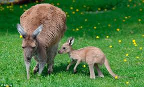 Kangaroos - Babies and mom ]016