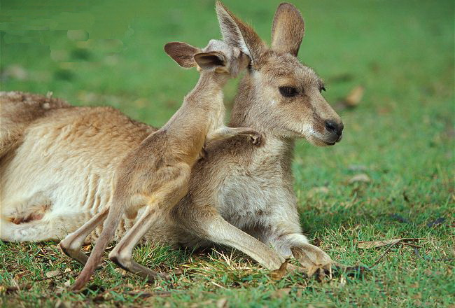 Kangaroos - Babies and mom ]017