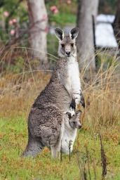 Kangaroos - Babies and mom ]021