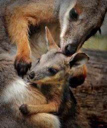 Kangaroos - Babies and mom ]023