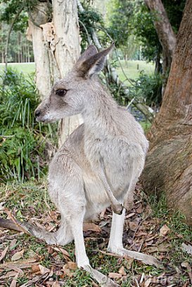 Kangaroos - Babies and young 03