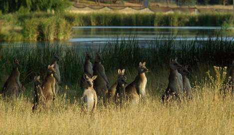 Kangaroos - Crowd or mob 006