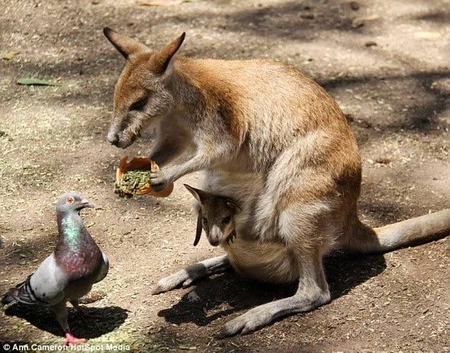 Kangaroos - Cute 002