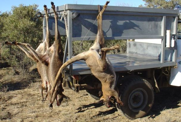 Kangaroos - Killed in trucks and storage 017