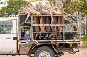 Kangaroos - Killed in trucks and storage 021